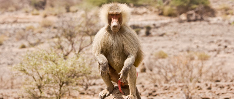 Baboon,
