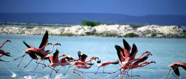 Flamingoes,