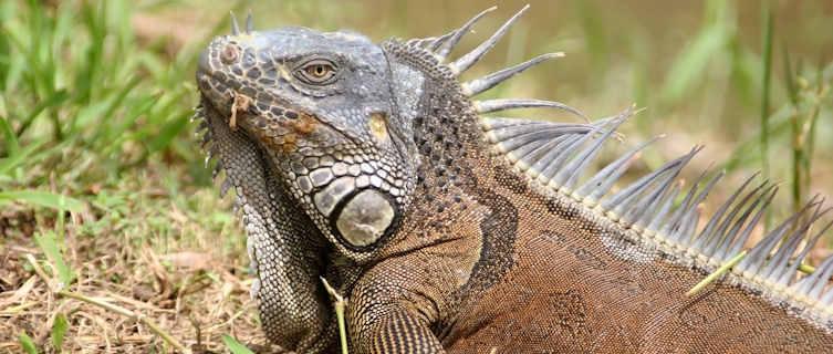 Iguana,