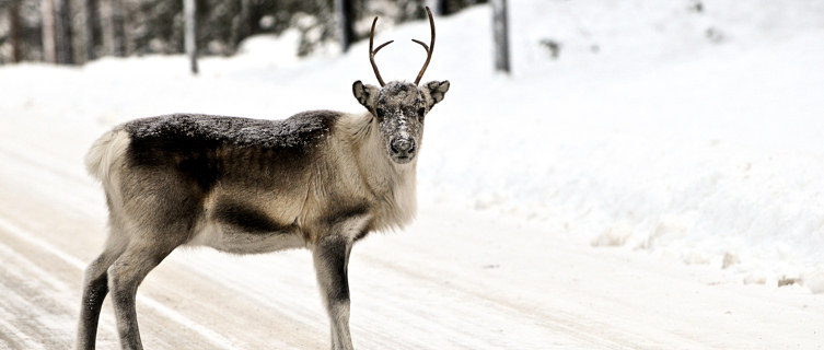 Reindeer,