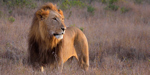 Coming soon: Walking with lions in Zambia