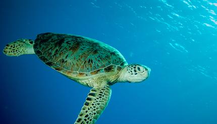 Green sea turtle swimming in Derawan, Kalimantan