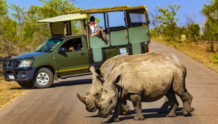 White rhinos crossing the road in Kruger National Park, South Africa