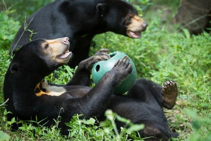 Playing sun bears ©freethebears.org