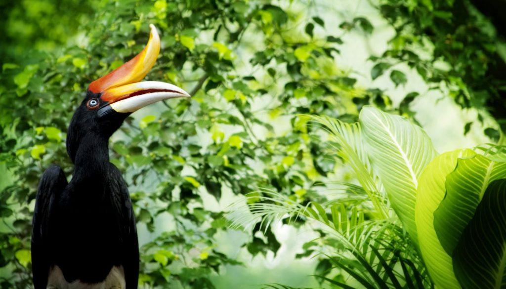 Malaysia - Hornbill, Malaysia
