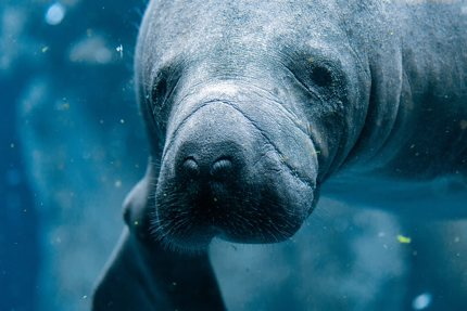Manatees are also being cared by Wildtracks