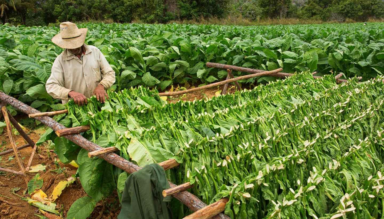 Cuba - Tabacco fields in Vinales, Cuba