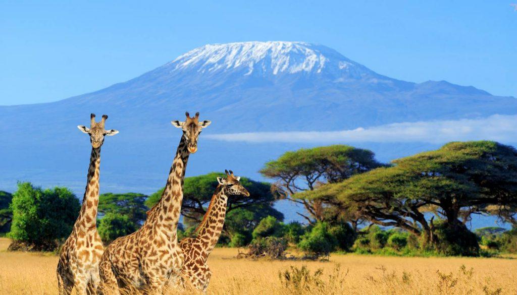 Kenya - National park in Kenya - three giraffe on Kilimanjaro background