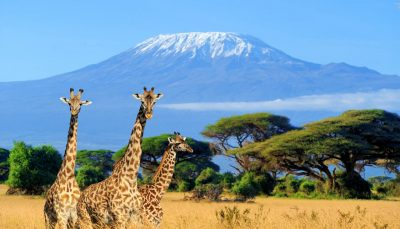 National park in Kenya - three giraffe on Kilimanjaro background
