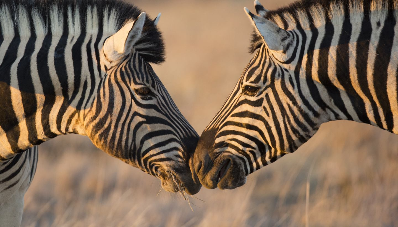 Namibia - Zebras in Ethosha National Park, Namibia