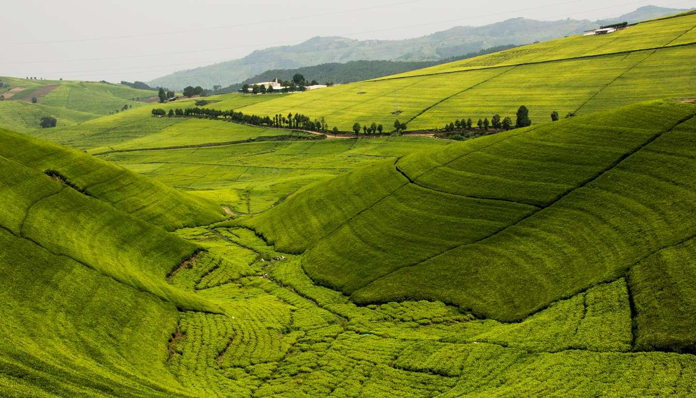 Rwanda - Tea plantations in Rwanda