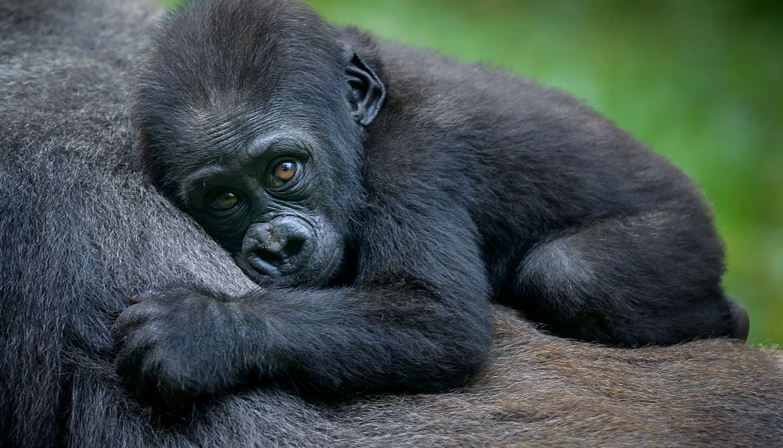 Rwanda - Gorilla in Rwanda