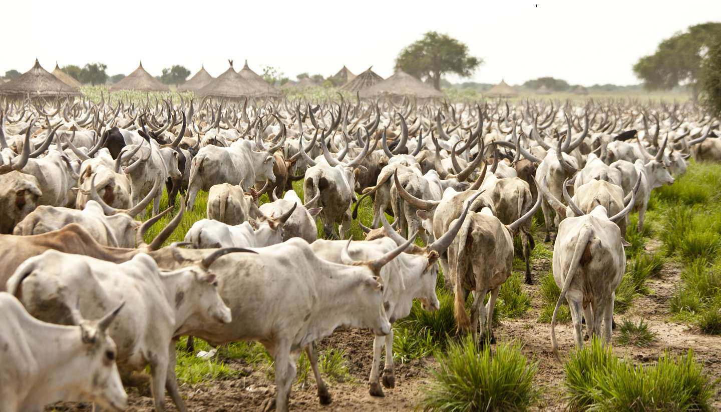 South Sudan - Large cattle drive, South Sudan