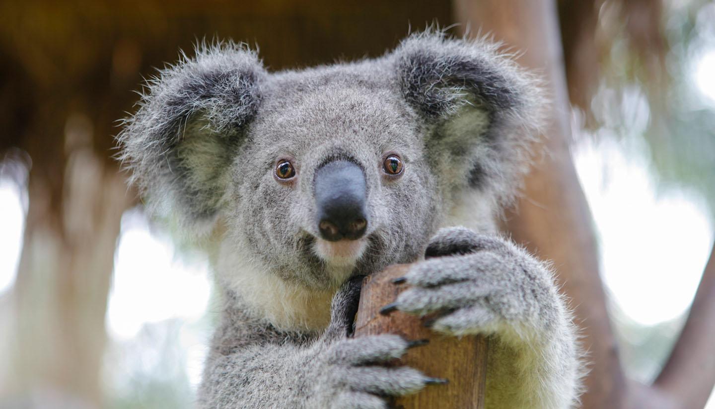 Australia - Koala in a tree