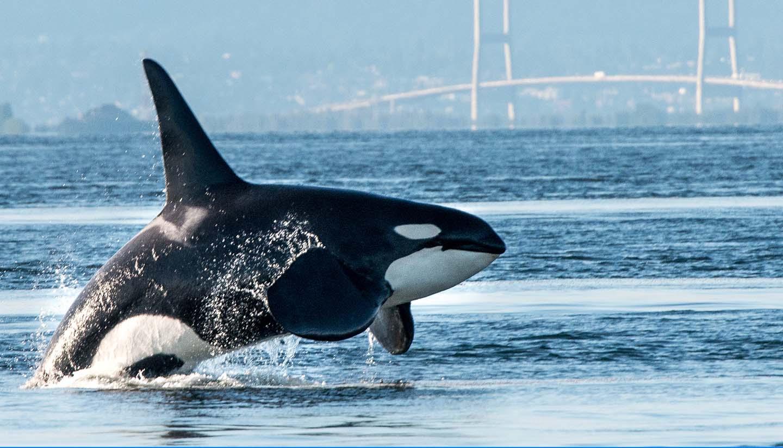 British Columbia - Male Orca, British Columbia