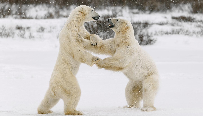 Nunavut - Polar Bears fighting, Canada
