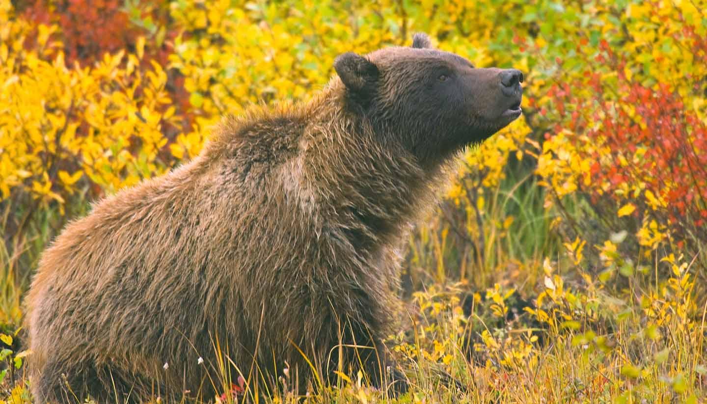 Yukon Territory - Grizzly Bear Yukon Territory, Canada