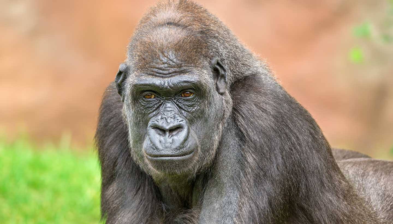 Gabon - Western Lowland Gorilla, Gabon