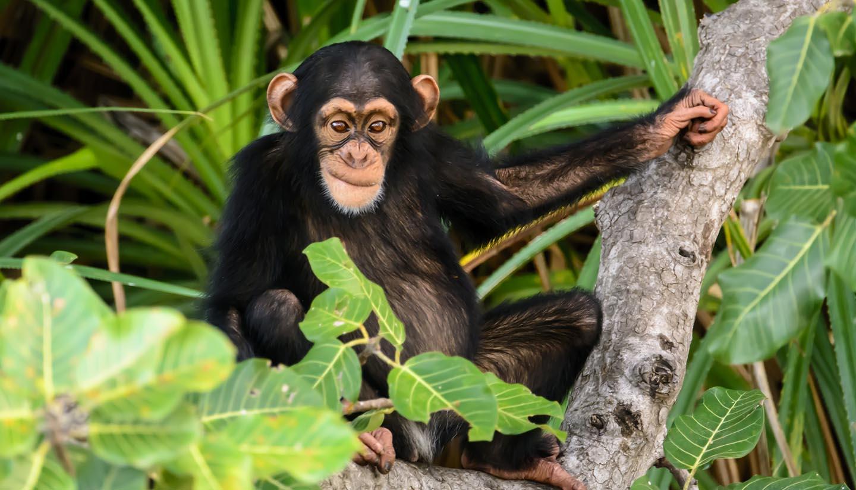 Gambia - Mischievous Chimpanzee, Gambia
