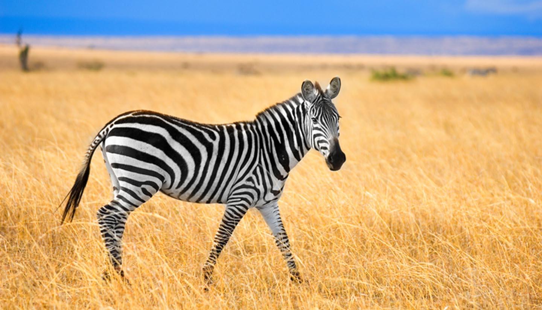 Kenya - Zebra at Masai Mara, Kenya