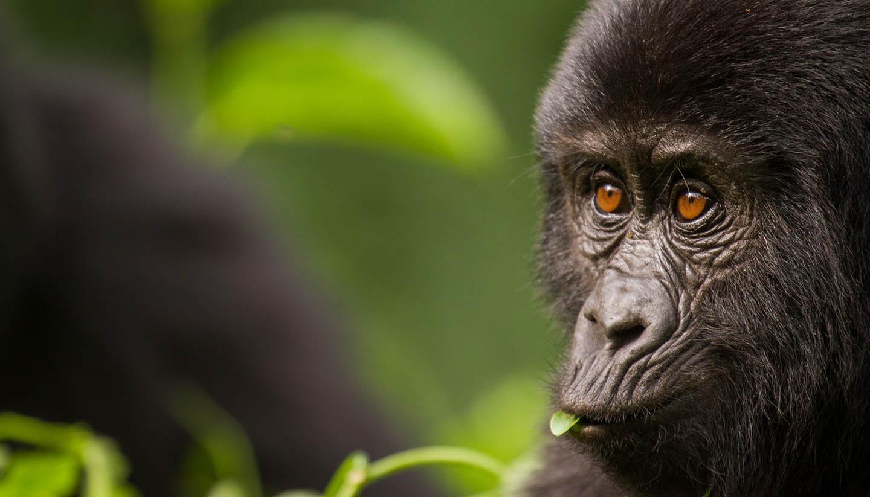 Rwanda - Young Mountain Gorilla, Rwanda