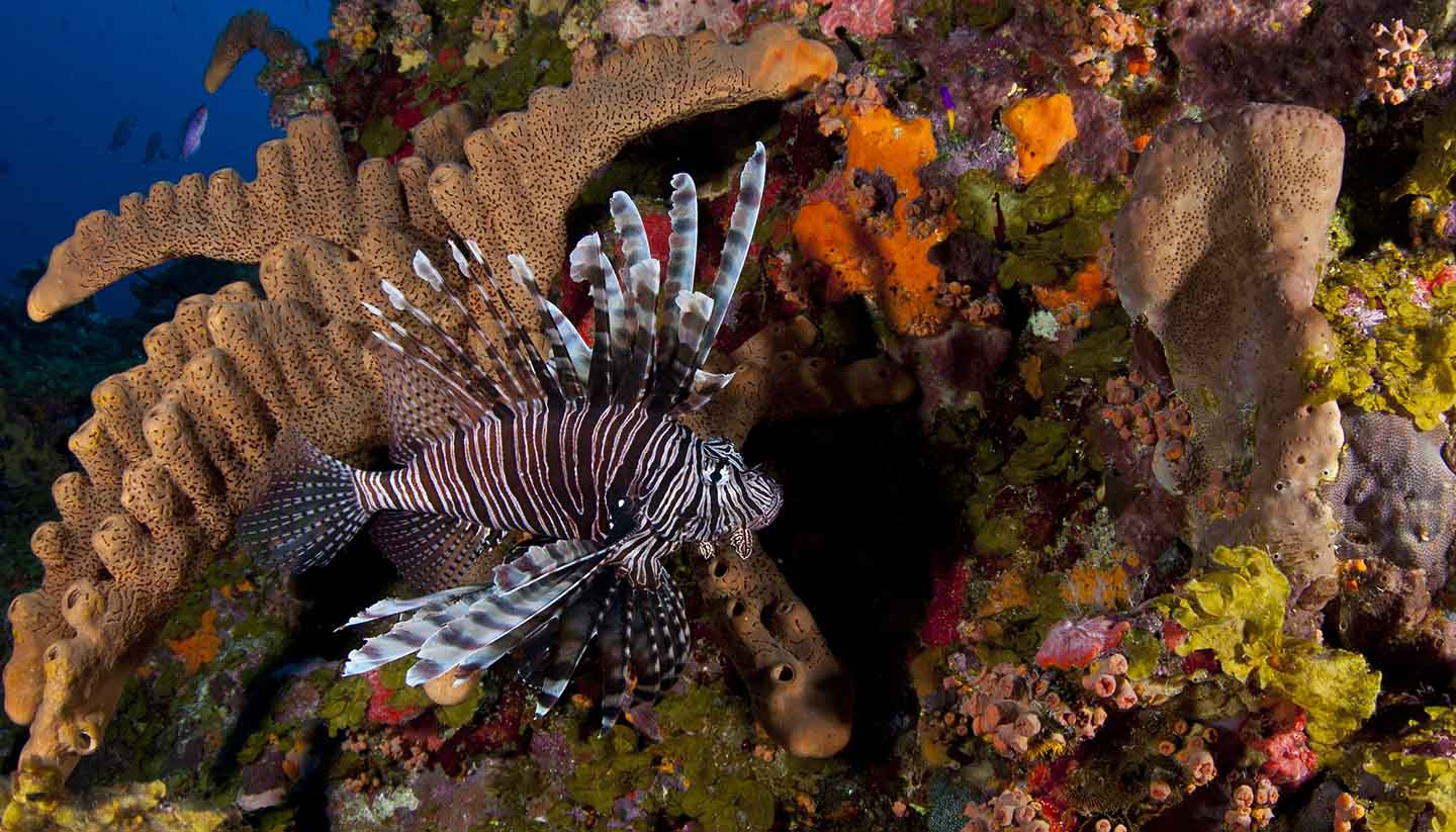Saba - Invasive Lionfish in Saba