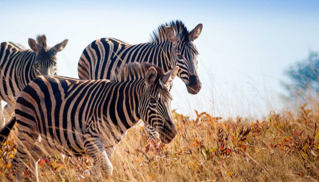eSwatini - Zebras at Mlilwane Wildlife Sanctuary, Swaziland
