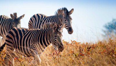 Zebras at Mlilwane Wildlife Sanctuary, Eswatini (Swaziland)