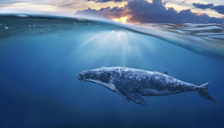 Tonga - Whale in Half Air, Tonga