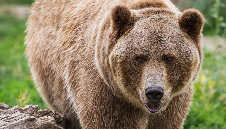 Alaska - A brown bear in Alaska, USA