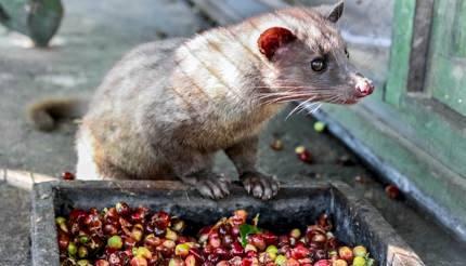 Luwak (civet cat) eating coffee berries