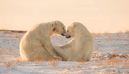 Two Polar Bears Wapusk National Park