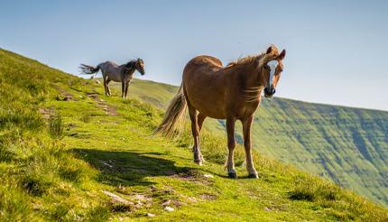 Wild horses in Brecon Beacons