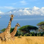 Giraffes with Mt Kilimanjaro behind them