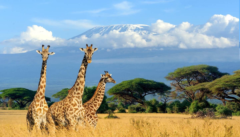 Kenya - Giraffes with Mt Kilimanjaro behind them