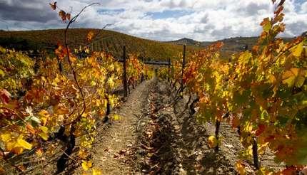 Vineyard in autumn in Douro Valley