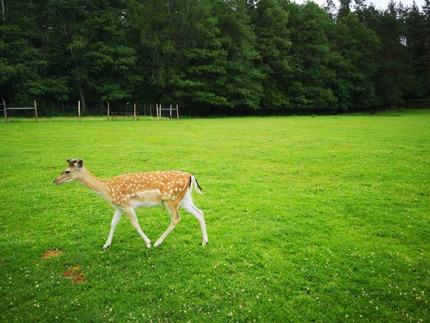 A deer in the Wild Animal Park, Kadzidłowo