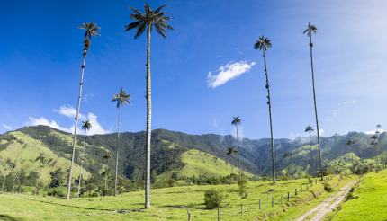 Cocora valley near Salento - wax palms in a field, clear blue sky
