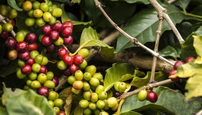 Colombian coffee berries
