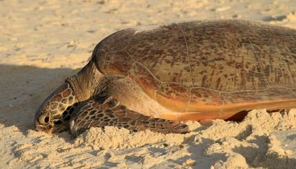 Green turtle on Heron Island