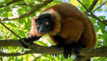 A red-ruffed lemur on tree top