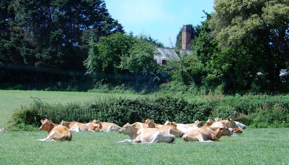 Guernsey cows relaxing in the field