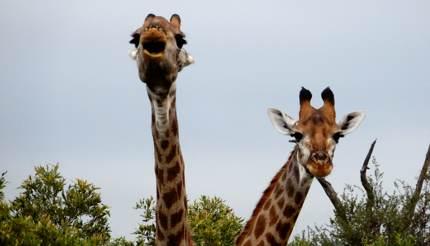 Giraffes peeking over the trees