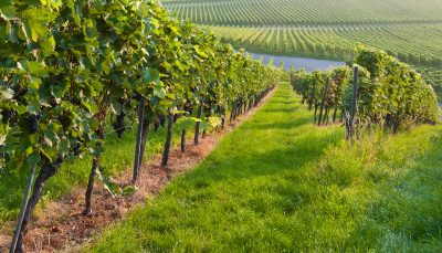 Vineyard in Germany