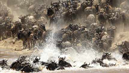 Wildebeest migration in the Maasai Mara in Kenya