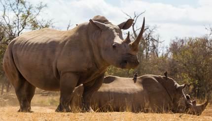 Wild rhinos in Mkhaya