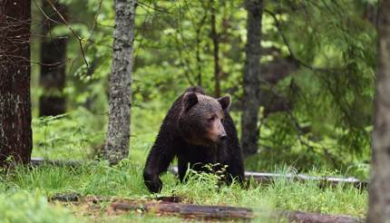 Brown bear wandering around in Alutaguse forest