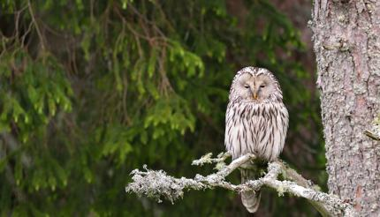 Ural owl on a branch in a forest in Estonia