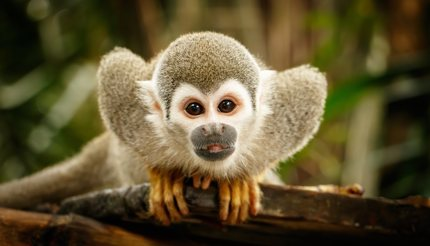 Squirrel monkey in the Amazon rainforest