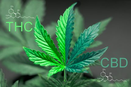 THC is a psychoactive compound while CBD is completely nonpsychoactive